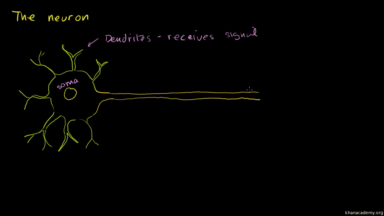 Anatomy of a neuron (video)   Khan Academy