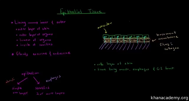 Epithelial and connective tissue (video) | Khan Academy